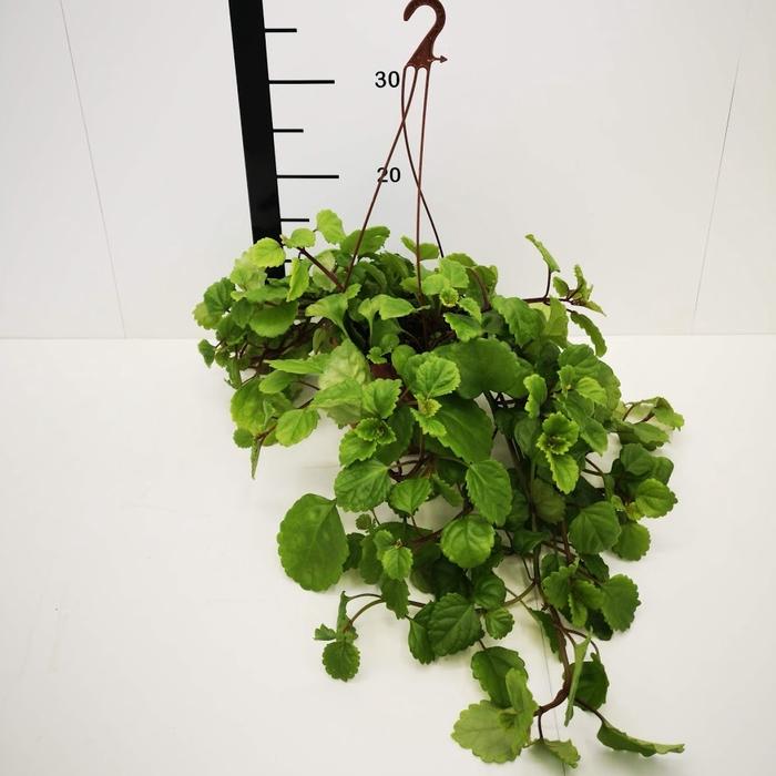 <h4>Plectranthus, planta del dinero</h4>