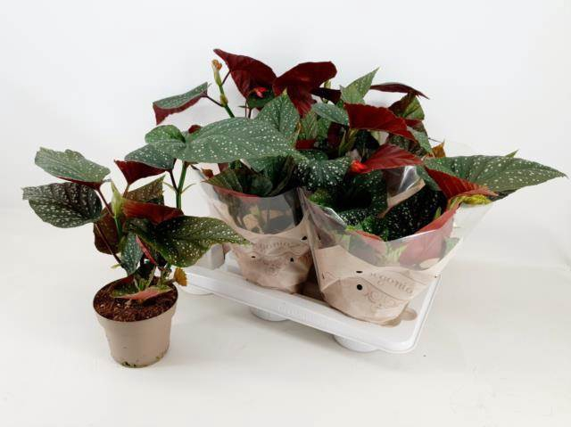 <h4>Begonia Ma Wightii</h4>