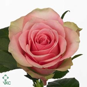Rosa Gr. Belle Rose