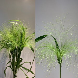 Grasses - Panicum Fountain Grass