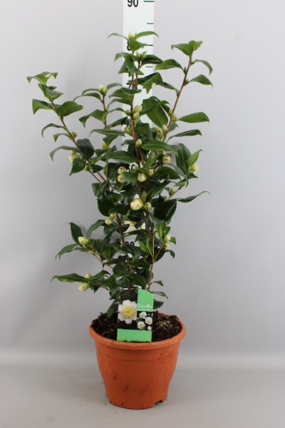 <h4>Camellia japonica 'Brushfield Yell'</h4>