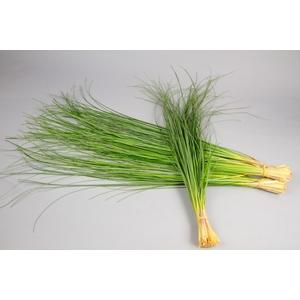 F Beargrass 60cm
