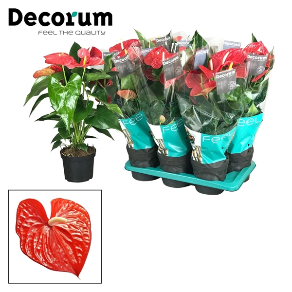 <h4>Anthurium Michigan pot 17 GROOTBLOEMIG ROOD</h4>