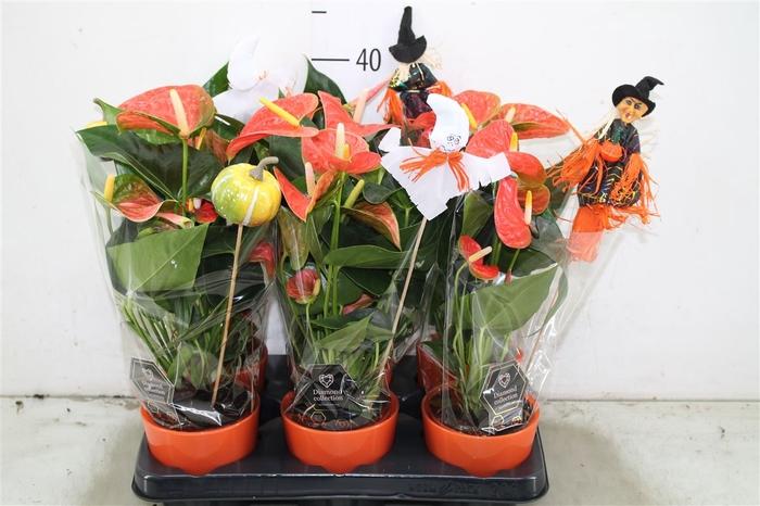 <h4>Anth An Prince Of Orange Halloween</h4>