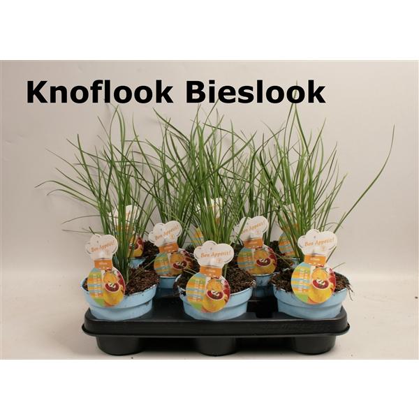 <h4>Allium knoflook bieslook</h4>