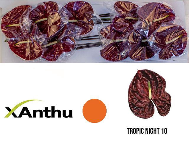 <h4>ANTH A TROPIC NIGHT</h4>
