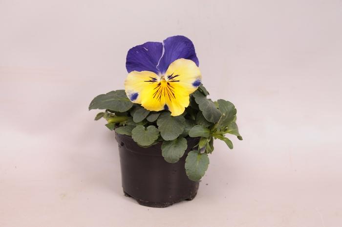 <h4>Viola wittrockiana F1 Morpheus</h4>