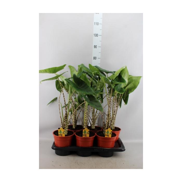<h4>Alocasia zebrina</h4>