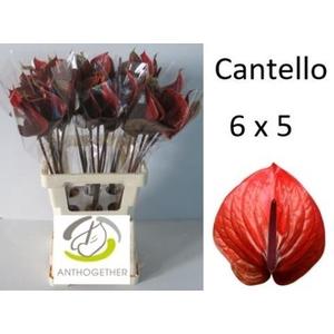ANTH A CANTELLO