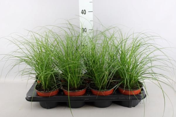 <h4>Carex brunnea</h4>
