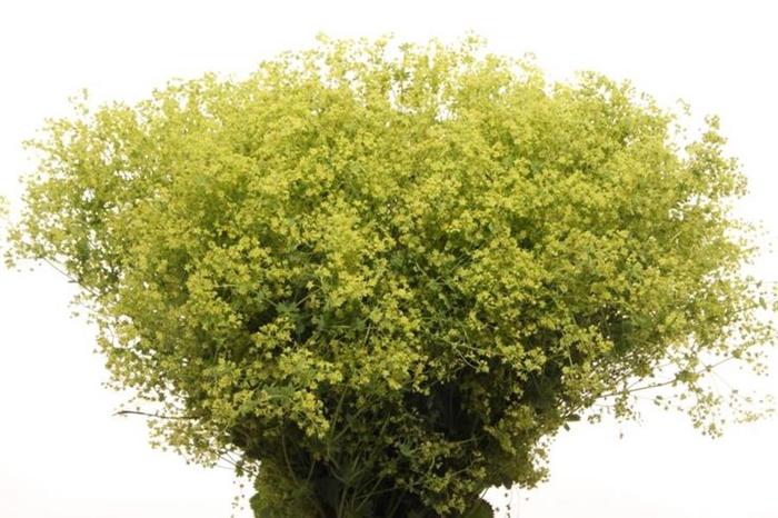 <h4>Alchemilla mollis Robustica</h4>