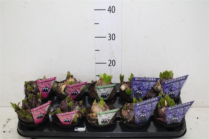 <h4>Hyacinthus Multiflora Gemengd</h4>