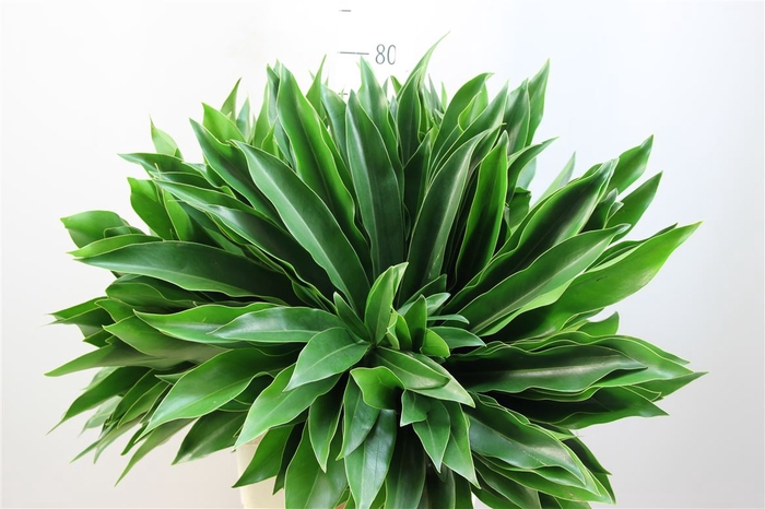 <h4>Philodendron Fun Bun 75</h4>