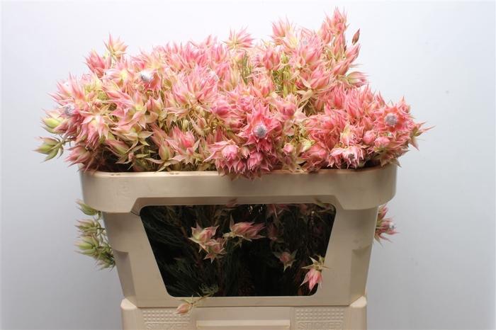 <h4>Serruria Blushing Bride Pink 10</h4>
