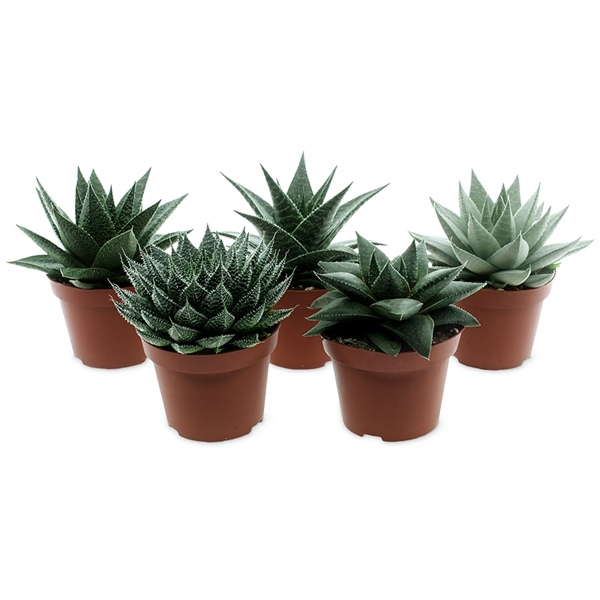 <h4>Aloe-haworthia mix - exclusive</h4>