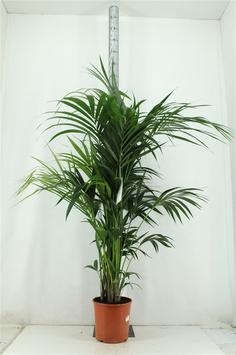 <h4>Howea Forsteriana H160cm</h4>