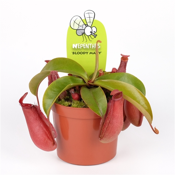 <h4>Nepenthes 'bloody Mary'</h4>
