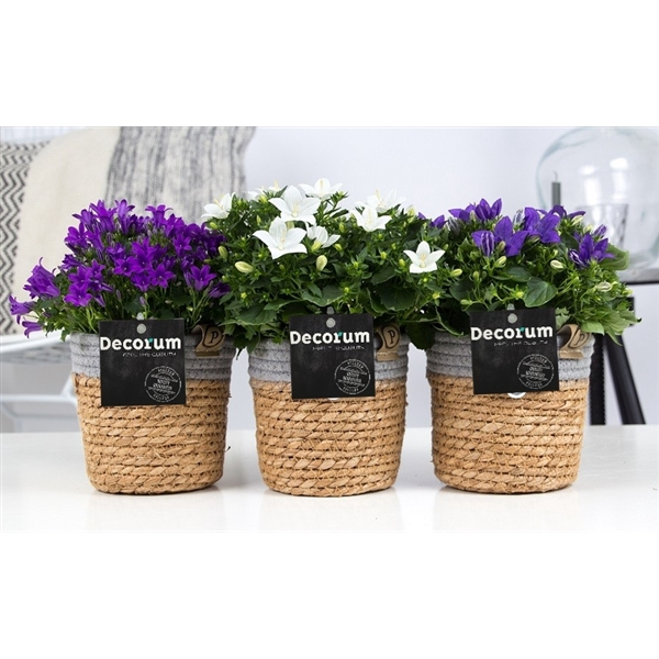<h4>Campanula Mix Decorum S. Basket</h4>