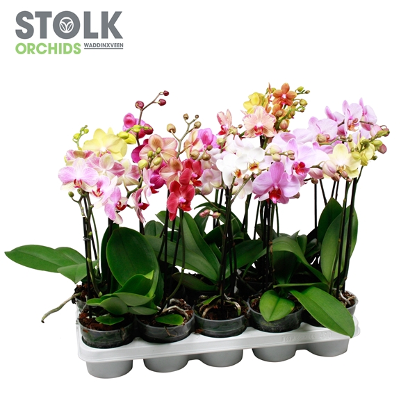 <h4>Phalaenopsis mix</h4>