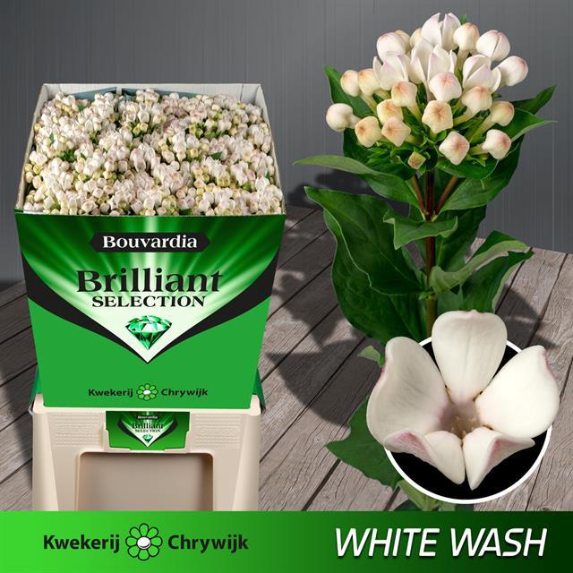 <h4>BOU EN WHITE WASH</h4>