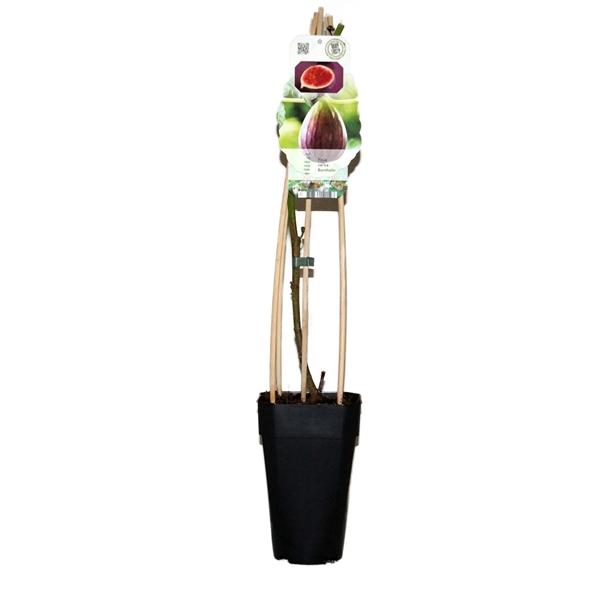 <h4>Ficus carica bornholm</h4>