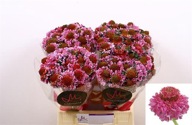<h4>Scabiosa atropurpurea Focal Scoop Bicolor Pink</h4>