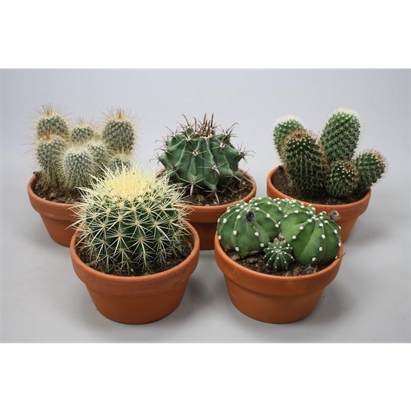<h4>Bolcactus mix 17 cm.</h4>