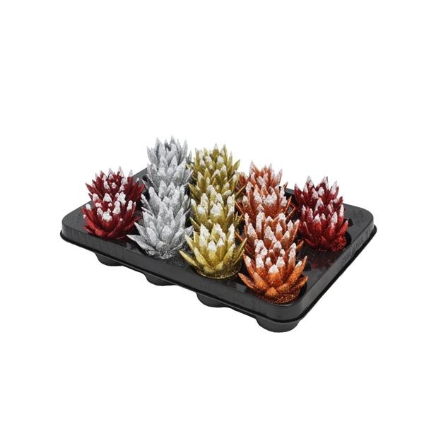 <h4>Echeveria coloured Xmas tripple mix</h4>