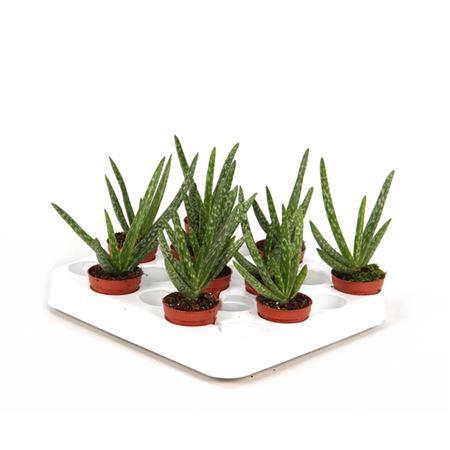 <h4>Aloe Vera Mini</h4>