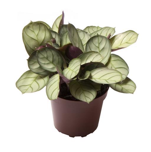 <h4>Maranta Leuconeura Amabilis Mint 6Ø 12cm</h4>