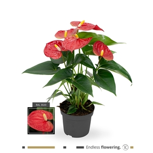 Anthurium Karma Red