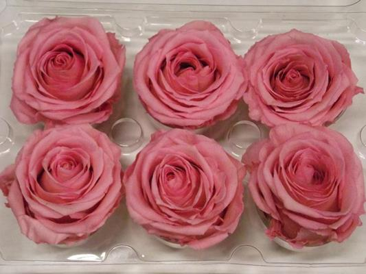 <h4>R Prs Pink</h4>