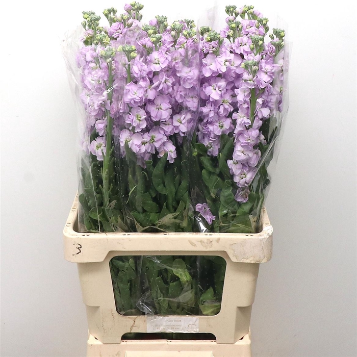 <h4>Matth Iron Lavender</h4>
