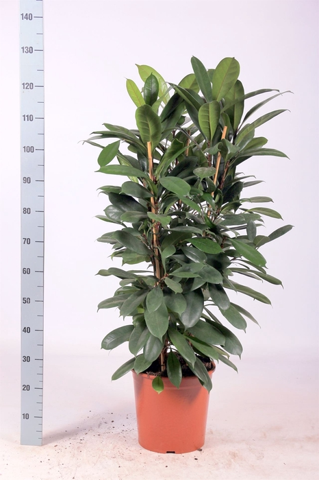 <h4>Ficus cyathistipula</h4>