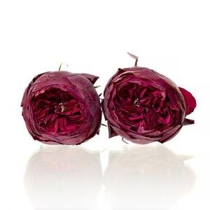 Garden Rose Piano red 4,5-5cm