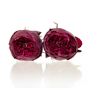 Garden Rose Piano red 5-5,5cm