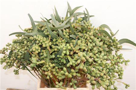 <h4>Euca Berry Long 50cm Per Bos</h4>