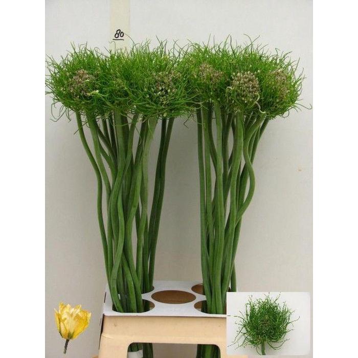 <h4>Allium Catweazle</h4>
