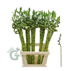 Drac S Lucky Bamboo