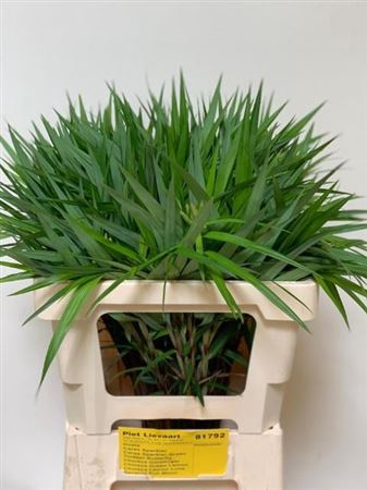 <h4>Carex Ph Gr Sparkler</h4>