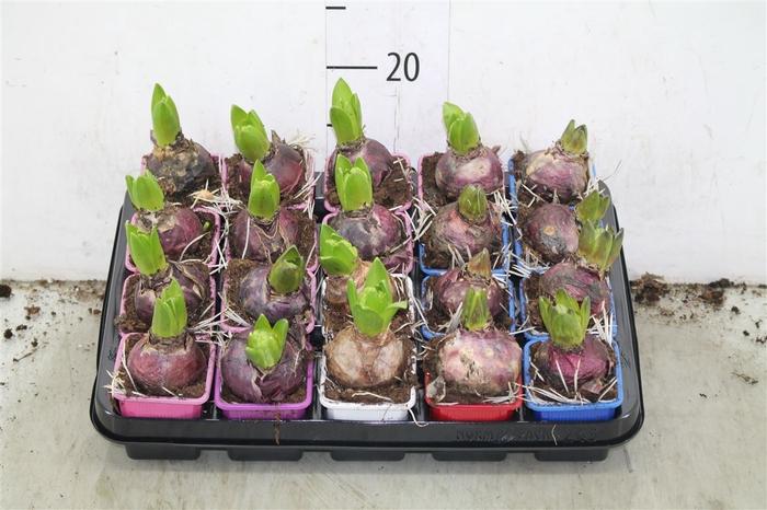 <h4>Hyacinthus Gemengd 1pp</h4>