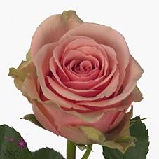 <h4>Rosa gr Geraldine (Nevado)</h4>