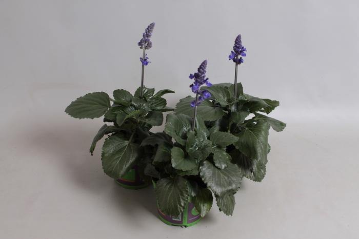 <h4>Salvia Mystic Spires Blue</h4>