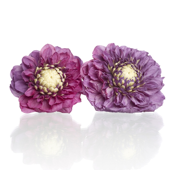 Dahlia purple 5,5-6cm