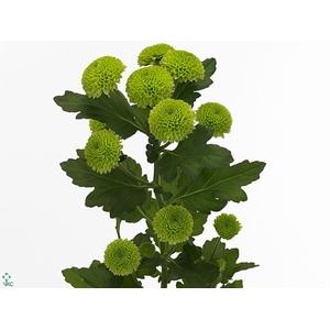 Chrysanthemum spray feeling green