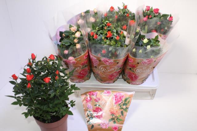 <h4>Rosa Favourite Roses mix 4srt</h4>