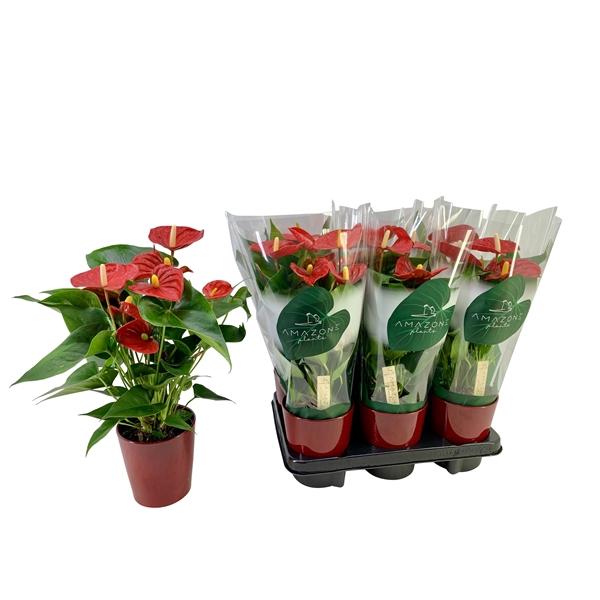 <h4>Anthurium Aristo 12cm rood keramiek</h4>