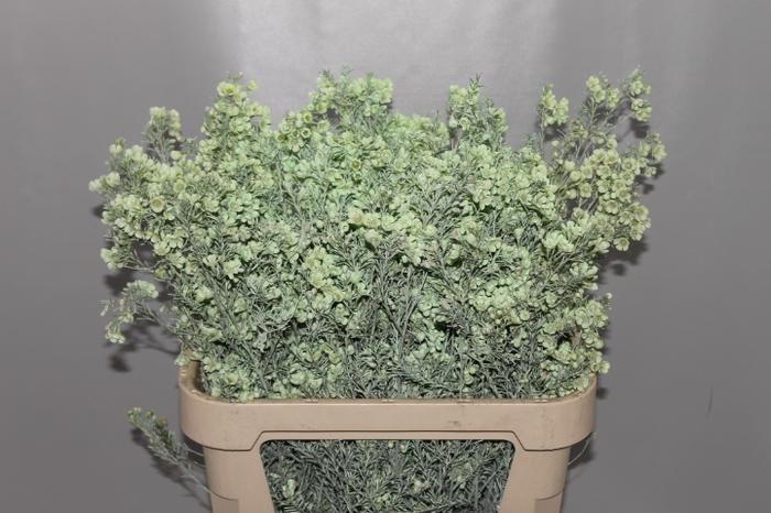 <h4>Wax Mint</h4>