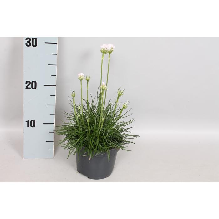 <h4>vaste planten 12 cm Armeria Maritima White</h4>