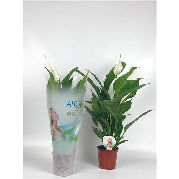 <h4>Spathiphyllum Sweet Silvio  ASP</h4>
